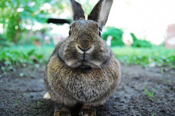 Cuor di coniglio